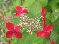 みちのく紫陽花園2014-07-05-175