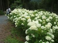 みちのく紫陽花園2014-07-05-173