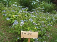 みちのく紫陽花園2014-07-05-171