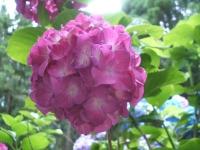 みちのく紫陽花園2014-07-05-179