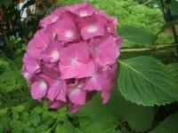 みちのく紫陽花園2014-07-05-178