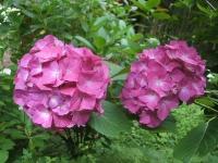 みちのく紫陽花園2014-07-05-177