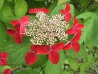 みちのく紫陽花園2014-07-05-176