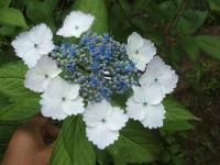 みちのく紫陽花園2014-07-05-182