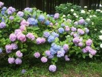 みちのく紫陽花園2014-07-05-180