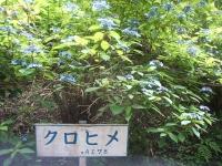 みちのく紫陽花園2014-07-05-191