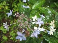 みちのく紫陽花園2014-07-05-188