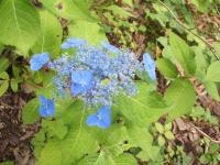 みちのく紫陽花園2014-07-05-199