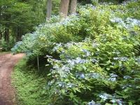 みちのく紫陽花園2014-07-05-192