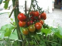 mtミニトマト01