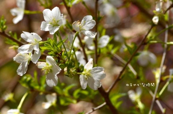 白花フジザクラ