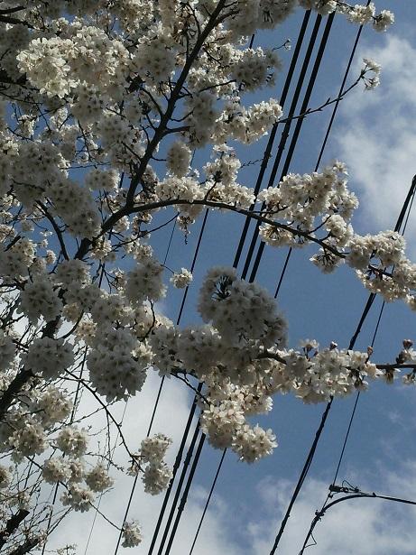 2014桜1