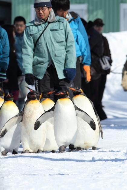 ペンギン散歩写真1