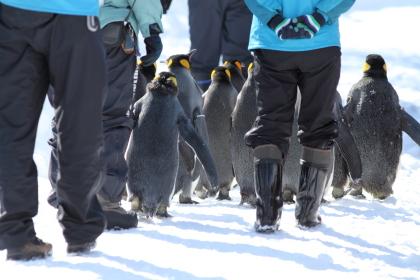 ペンギン散歩写真後ろ