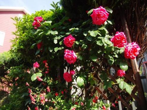 このバラも咲き始めた