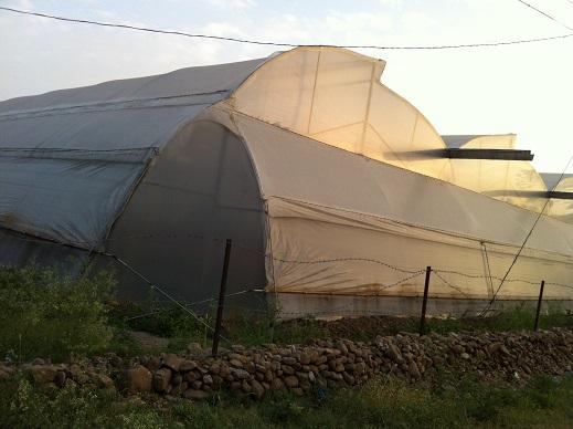 インドのハウス栽培