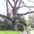 神原しだれ桜子木1