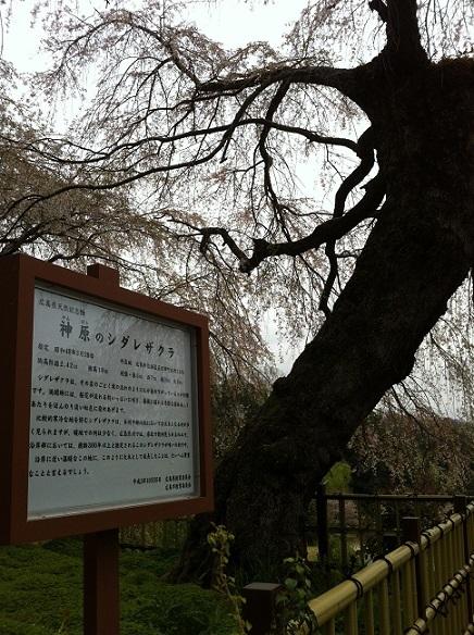 神原のしだれ桜 3