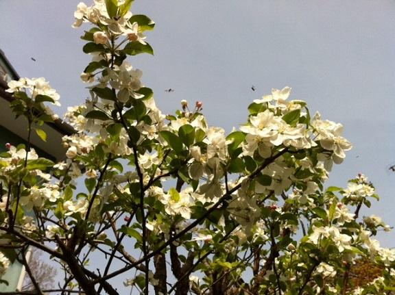 林檎の花と小さな虫