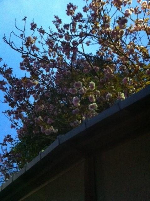 賀茂鶴八重桜 2