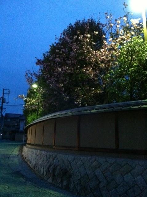 賀茂鶴八重桜 3