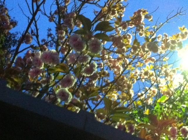 賀茂鶴八重桜6