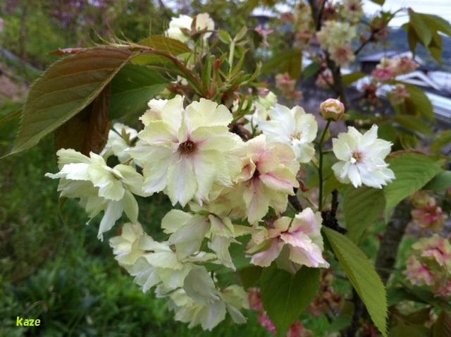 八重桜23日
