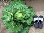 cabbage2014.jpg