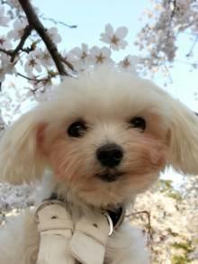チィちゃん桜