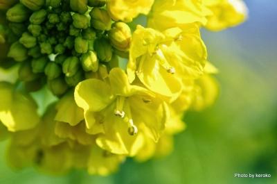 2014-02-07守山なぎさ公園菜の花2