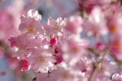 2014-04-03みずの森しだれ桜