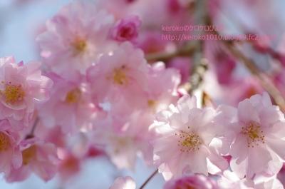 2014-04-03みずの森しだれ桜2