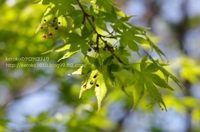 2014-04-23沖島新緑のモミジ