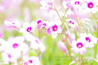 2014-05-21守山バラ・ハーブ園 カタバミ