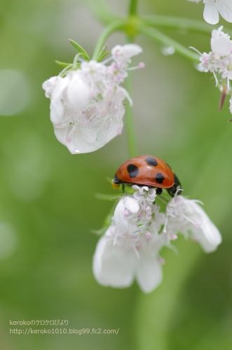 2014-05-21守山バラ・ハーブ園 白い花とてんとう虫