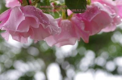 2014-05-21守山バラ・ハーブ園バラ1