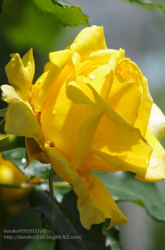 2014-05-21守山バラ・ハーブ園バラ4
