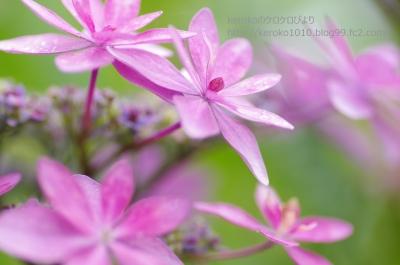2014-06-18芦刈園紫陽花