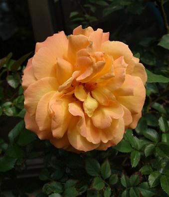 h26バラ咲く (1)