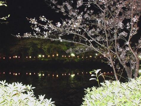 画像ー214夜桜 024-2