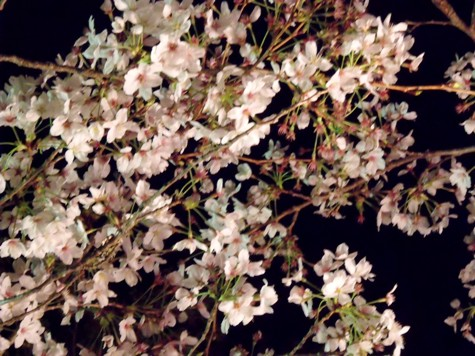画像ー214夜桜 046-2