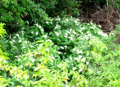 画像ー244新しい品種の植物 040-3