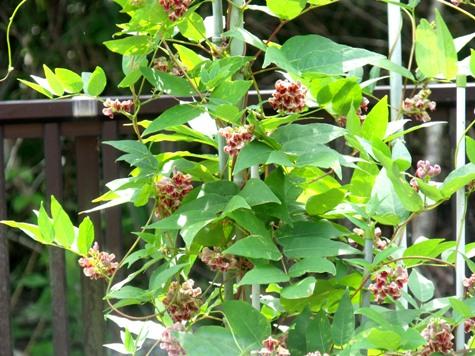 画像ー244新しい品種の植物 017-2