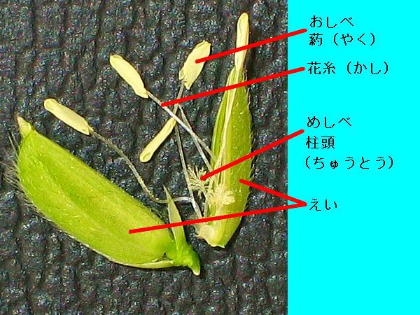 稲の花030903-014