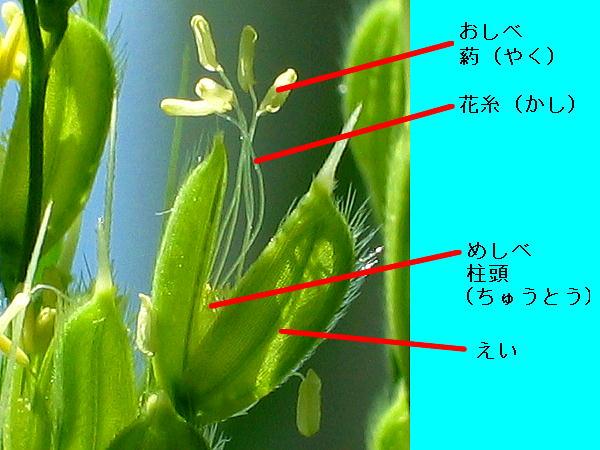 稲の花030903-013