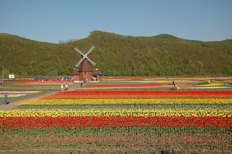800px-Tulip_field_Kamiyubetsu_Hokkaido_japan.jpg