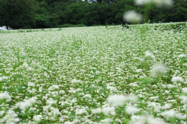 蕎麦の花-1