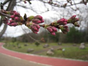 2014桜2