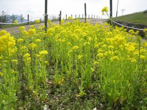 2014菜の花2