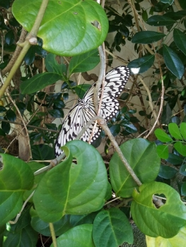 大胡麻斑蝶(オオゴマダラ)